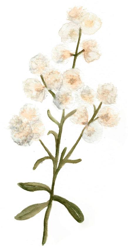 Baccharis-Paniculata-Chila. Ilustradora Natalia Buckowski.