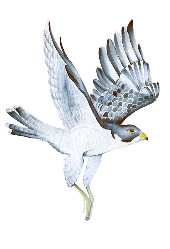 Falco-Peregrinus. Ilustradora Natalia Buckowski.