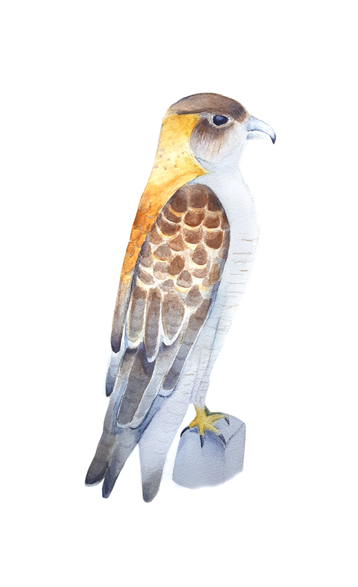 Geranoaetus-Polyosoma. Ilustradora Natalia Buckowski.