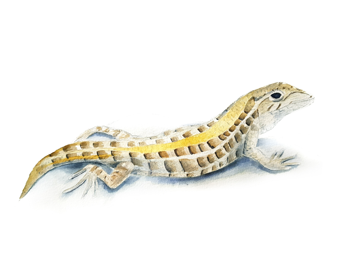 Liolaemus-lemniscatus. Ilustradora Natalia Buckowski.