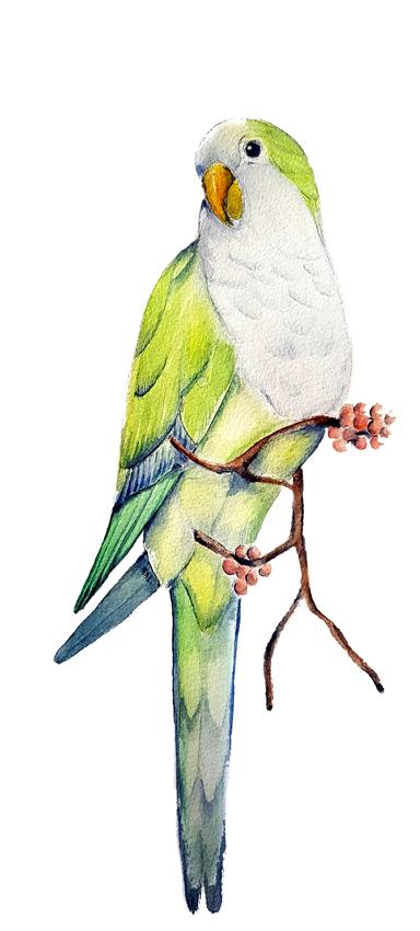 Myiopsitta-monachus. Ilustradora Natalia Buckowski.