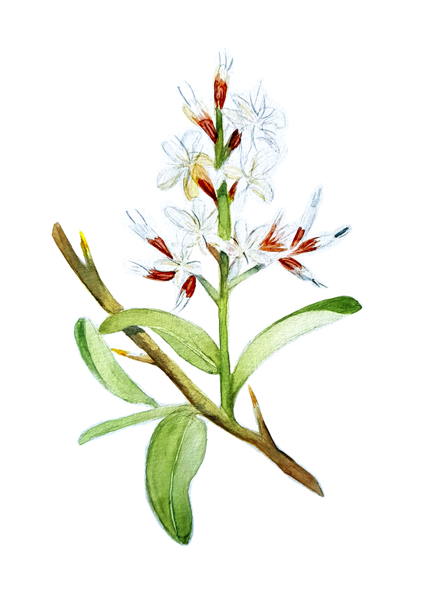 Proustia-Cunifolia. Ilustradora Natalia Buckowski.