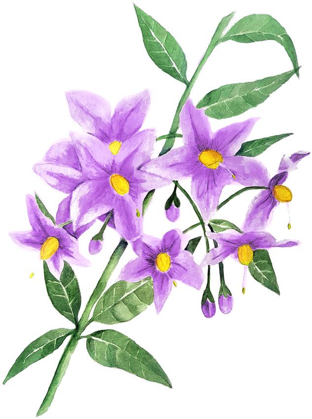 Solanum-crispum. Ilustradora Natalia Buckowski.